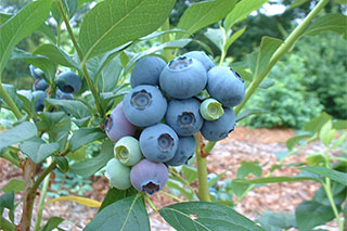 Blueberry farms