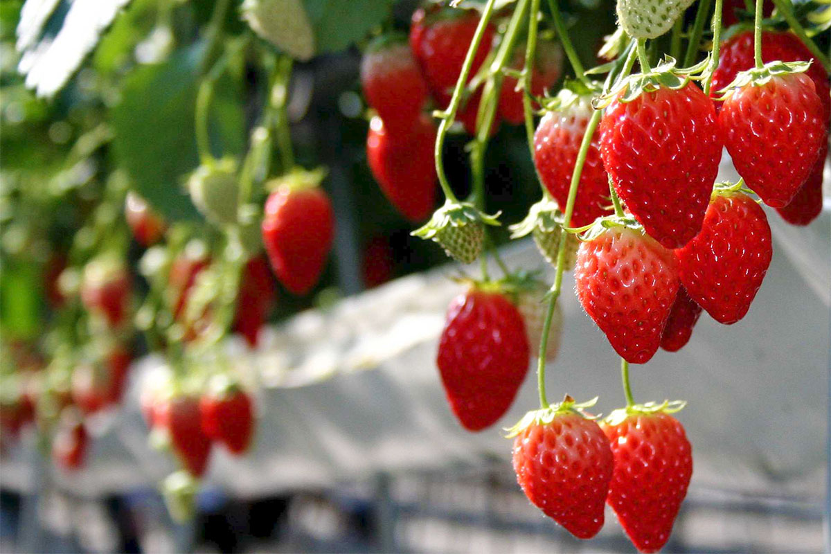 strawberry farm association of sightseeing in chichibu agriculture and forestry business